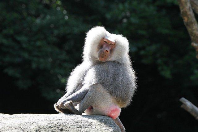 Pavian im Zoo