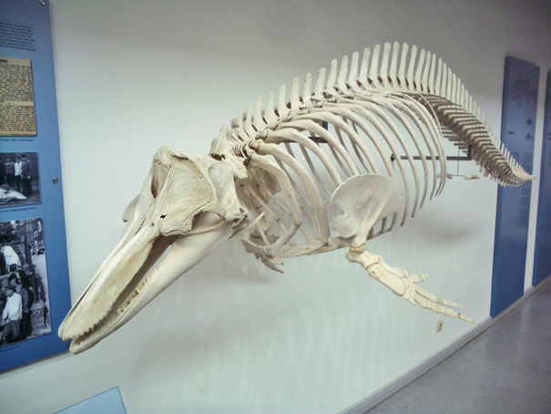 Skelett eines großen Tümmlers aus dem Nord-Ostsee-Kanal