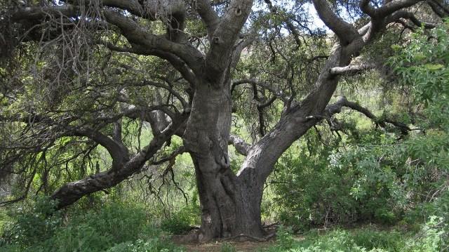 Kalifornische Eiche