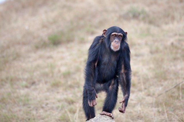 Schimpanse, auch der Kakundakari soll aufrecht gehen