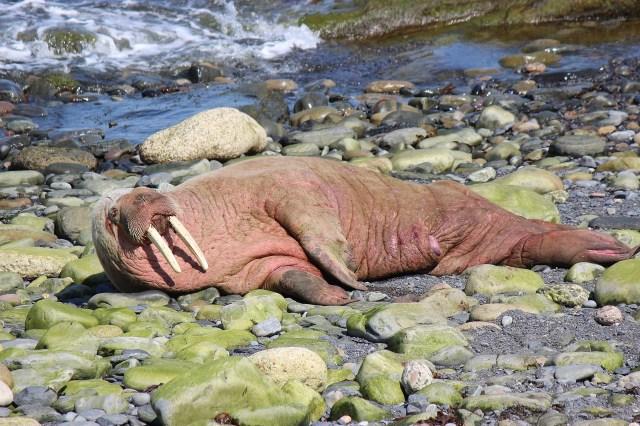 Walross am Strand