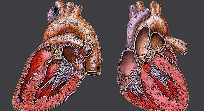 Genetic therapy heals damage caused by heart attack