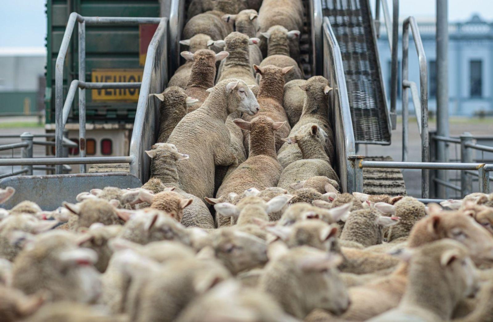Im Kapitalismus wird alles zur Ware, auch diese Schafe in Australien. (Foto: Jo-Anne McArthur, Unsplash.com)