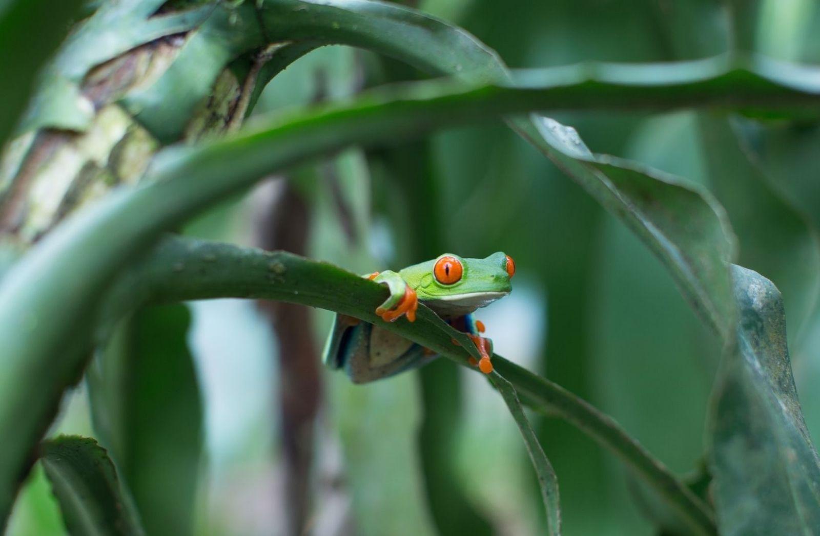Grüner Baumfrosch in Lateinamerika. (Foto: Matt Houghton, Unsplash.com)