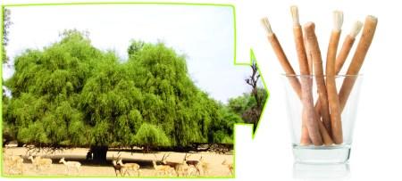 theesebrush tree - wiki.org
