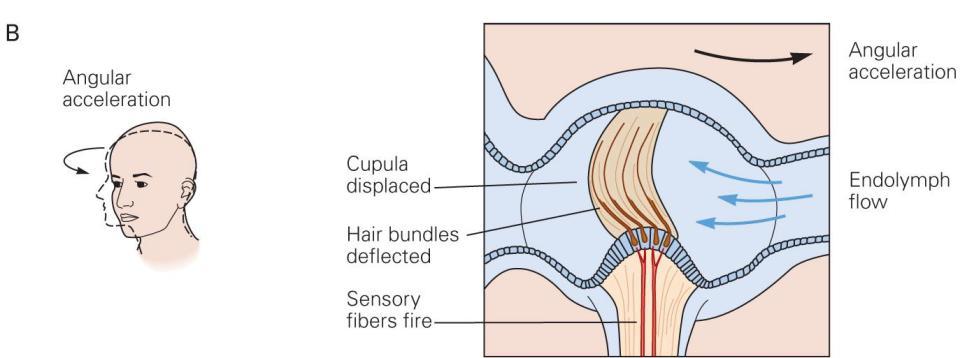 The Vestibular System | Neupsy Key