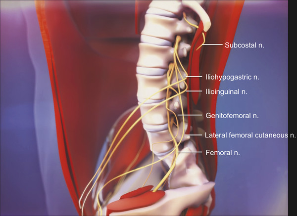 Schematic drawing of the left-sided lumbar plexus from a lateral perspective.