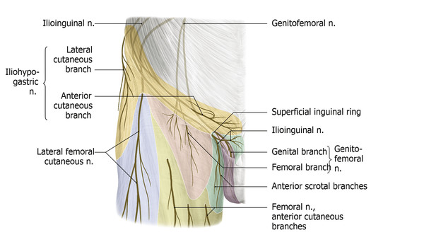 Individual nerve branches of the lumbar plexus and their contributions to regional dermatomes of the upper anterior thigh.