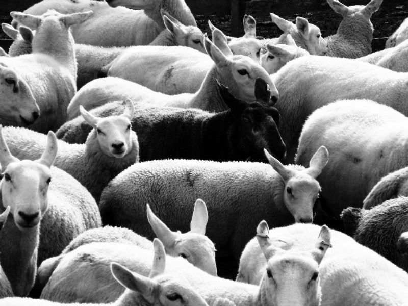 Grayscale image of a flock of sheep