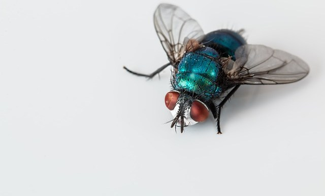 picture of a fly