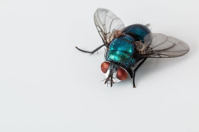 blowfly-2151453_640