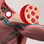 Anatomical illustration of shoulder area