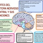 ¿Quién es quién en el sistema nervioso?