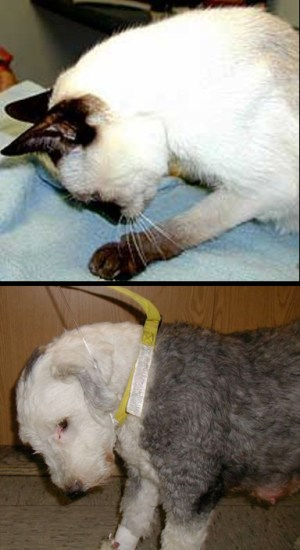 Cervical flexion dog & cat