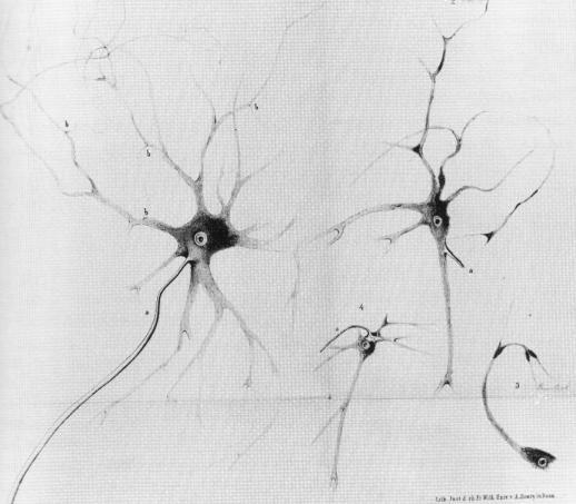 neuron1deiters.JPG
