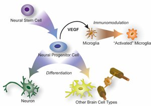 Natural Process Activating Brain's Immune Cells Could Point Way to Repairing Damaged Brain