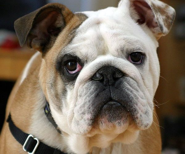 The photograph shows a bulldog with a sad looking face.