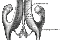 The image shows a diagram of the third ventricle from Gray's Anatomy.