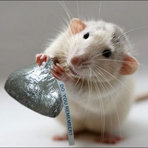 The image shows a rat holding a hershey's kiss.