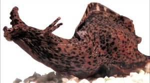 The image shows an Aplysia sea slug.