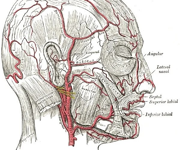 The image shows the vascular anatomy of the head.