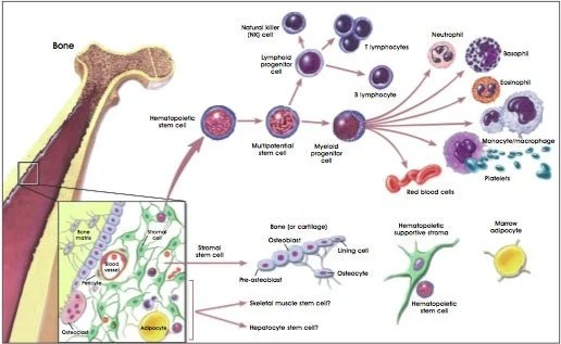 engineered stem cell advance points toward treatment for als