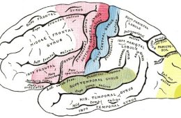 This illustration shows the anatomy of the brain with the auditory cortex highlighted in green.