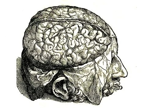 The image shows a human head with the top half of the cranium removed and the dura mater (brain covering) peeled back over the sides of the head, exposing the brain.