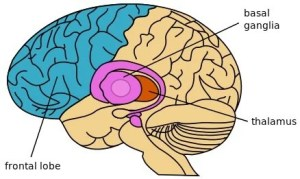 The diagram of the brain shown highlights the thalamus location.