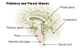 This diagram shows the location of the pineal gland in the brain.