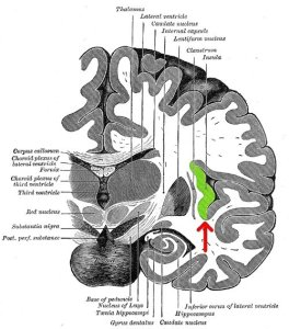 This image highlights the location of the insula in green.