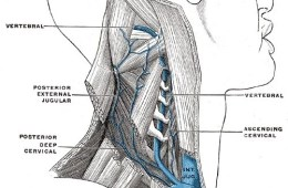 This is an image of the vertebral vein.