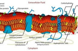 Shown is a diagram of a cell membrane.