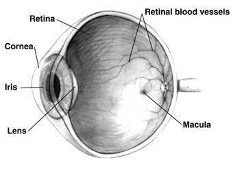 The image is a cross-sectional view in grayscale of right human eye.