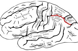 The image shows the location of the intraparietal sulcus in the brain.