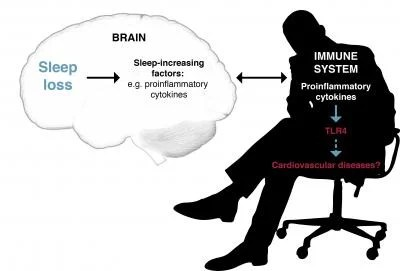 The image shows the association between sleep and immune system.