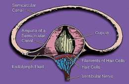 The image is an illustration of one of the three semicircular canals of one inner ear and associated structures.