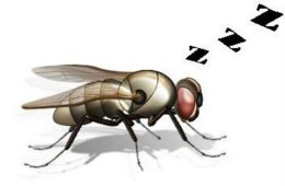 This is a drawing of a fruit fly with z's coming out of its mouth, as if it were snoring.