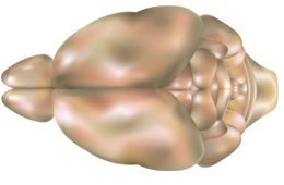 This is a top view of a mouse brain.