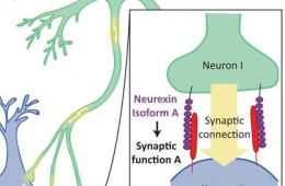 This diagram shows how neurons form in the brain.