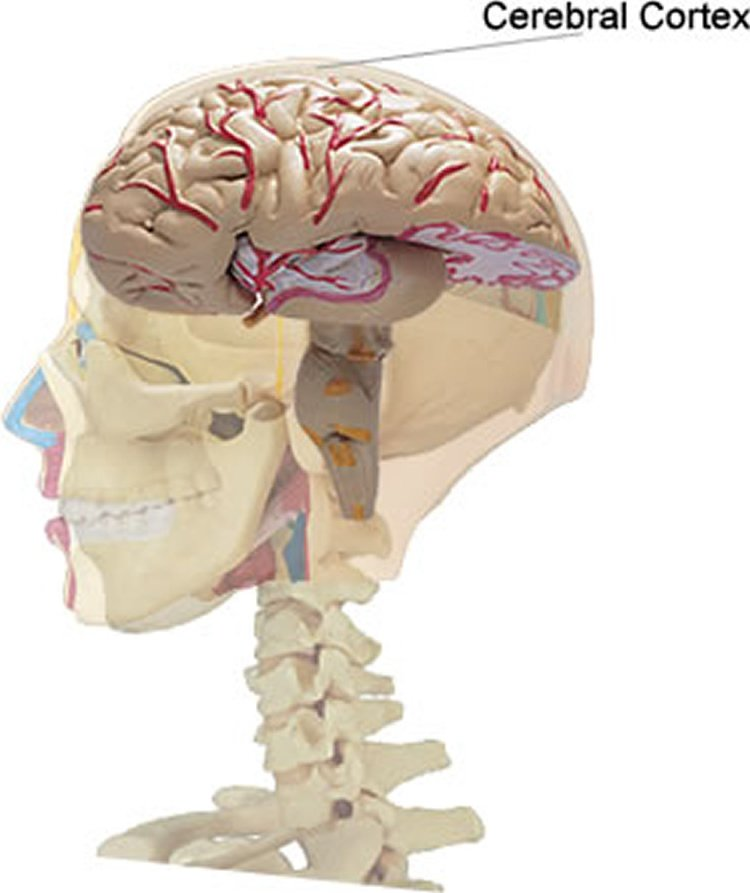 This image shows the location of the cerebral cortex in the human brain.