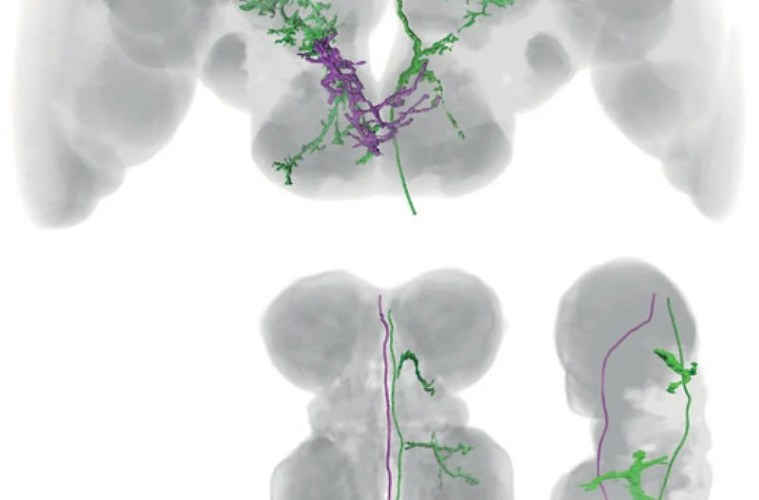 The image shows both the MDN and MAn neural networks in the fly brain.