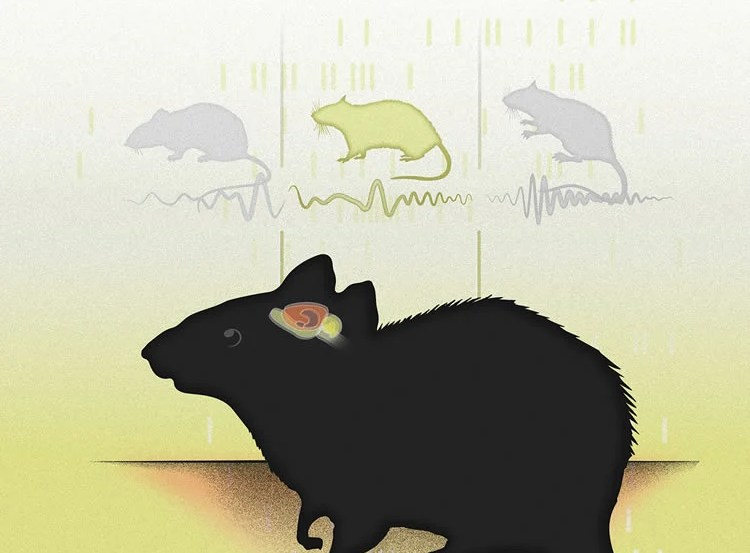 The image shows the hippocampus location in a rat's brain.