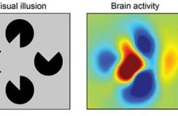 The image shows the image shown and the fmri representation of the image as it is processed in the brain.