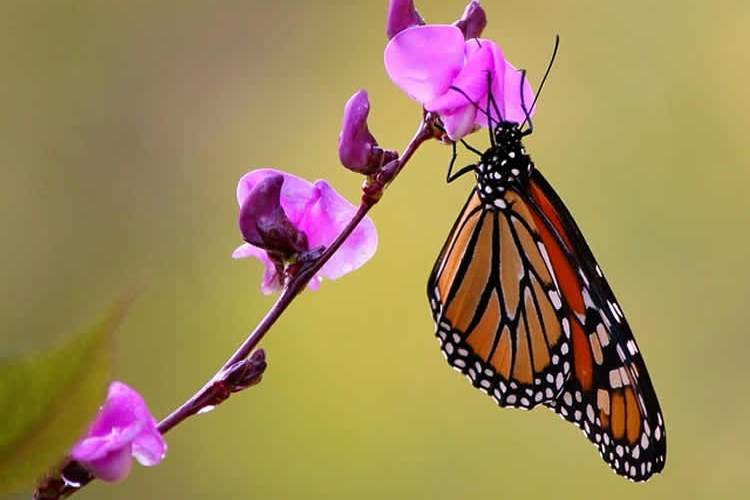 This image shows amonarch butterfly on a flower.