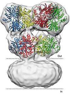 This image the structure of the glutamate receptor.