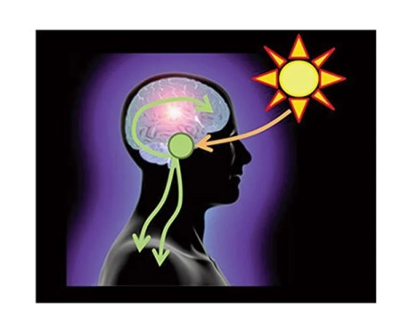 The image is a diagram representing the circadian clock. There is a drawing of the sun with rays hitting the SCN in the brain.