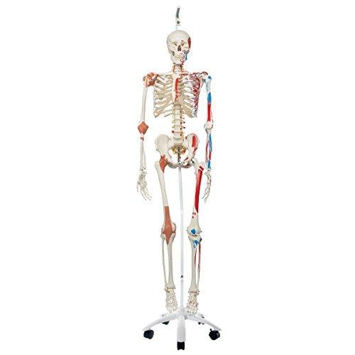 """human skeleton model """"sam"""" - neuroscience news, Skeleton"""