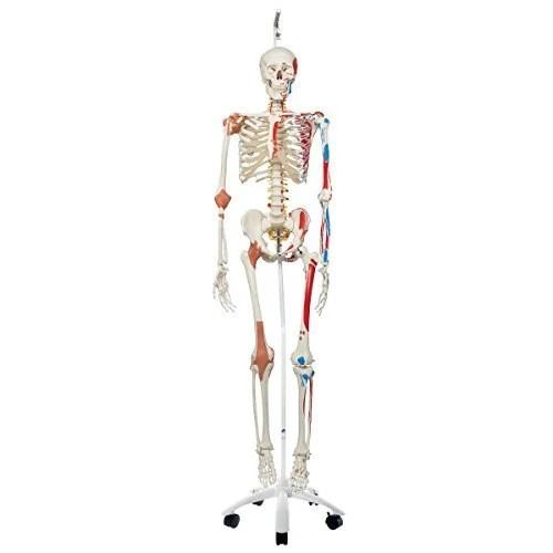 Human Skeleton Model Sam Neuroscience News