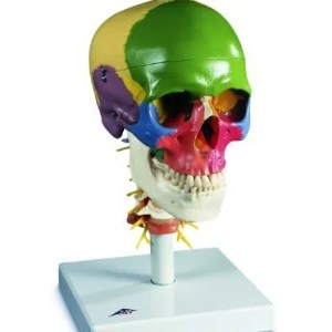 3B-Scientific-A202-Plastic-4-Part-Didactic-Human-Skull-Model-on-Cervical-Spine-6.9-Length-x-6.9-Width-x-11.8-Height-0